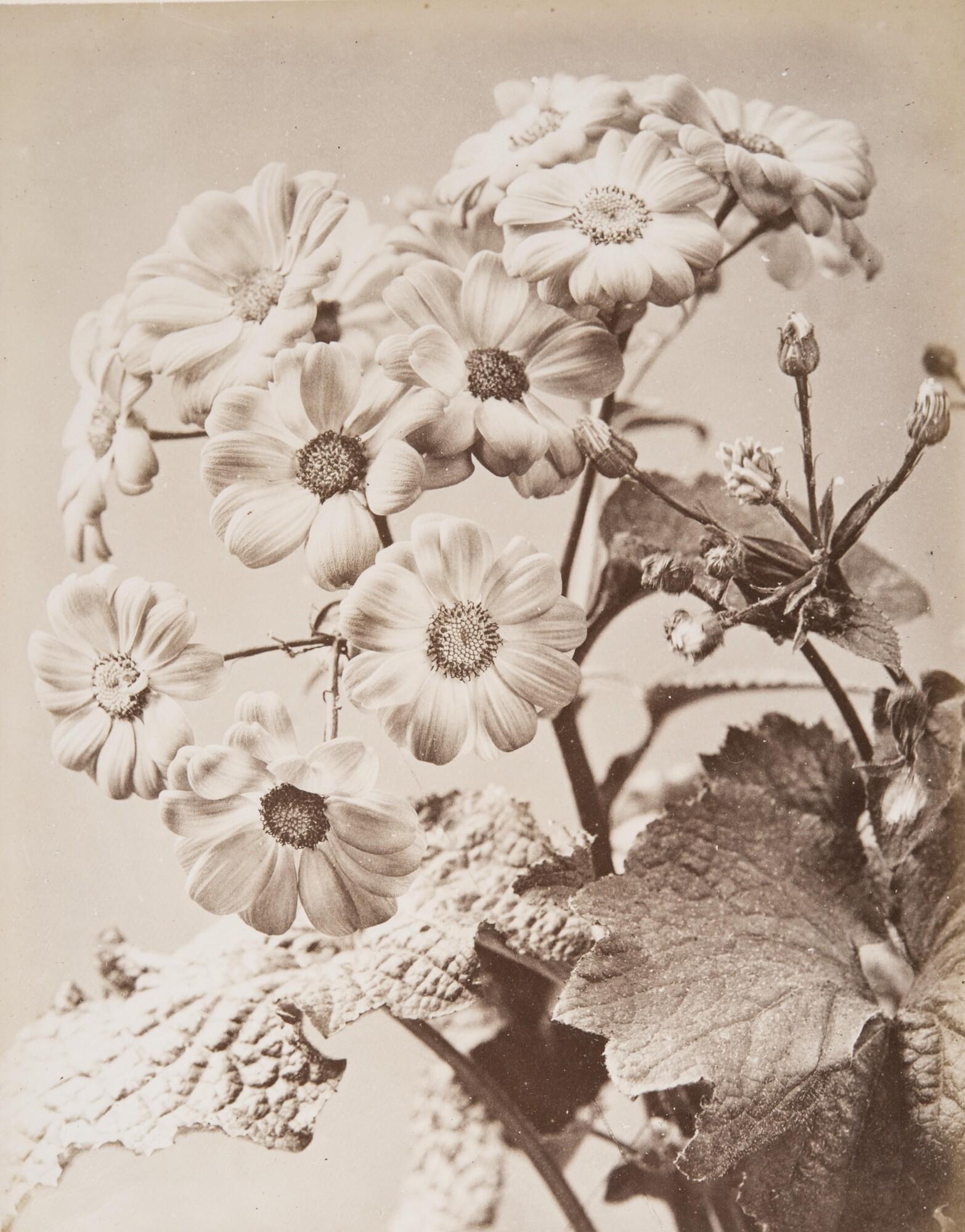 Алинари.    Цинерария гибридная,1860‑е   Альбуминовый отпечаток