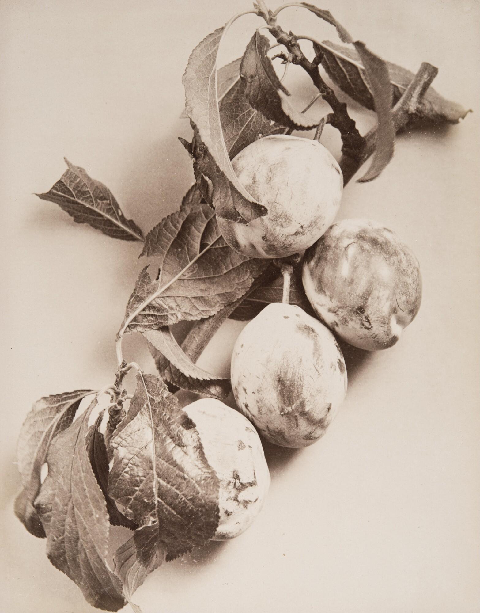 Алинари.    Слива,1860‑е   Альбуминовый отпечаток